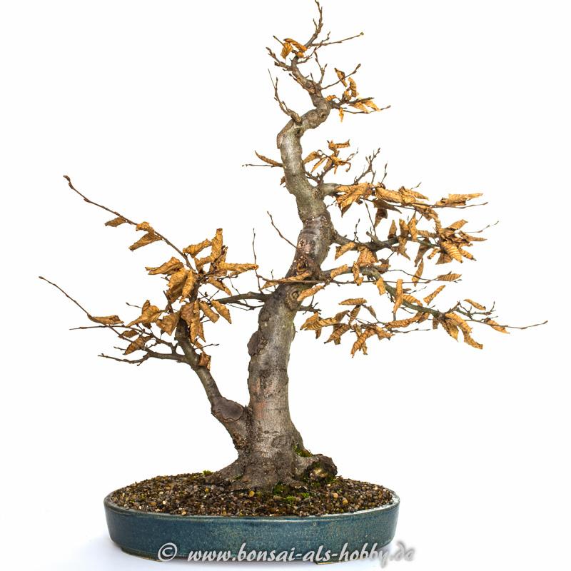 Bonsai Hainbuche #1 im Herbst 2014