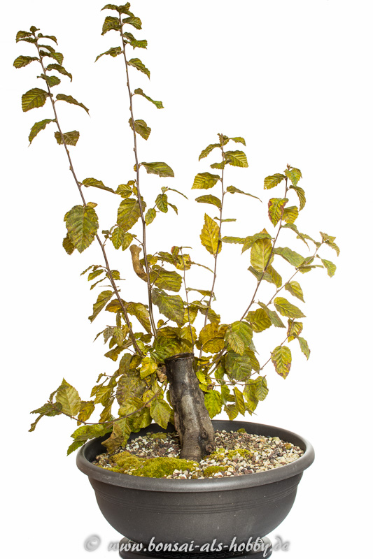 meine hainbuchen carpinus betulus bonsai 2014. Black Bedroom Furniture Sets. Home Design Ideas