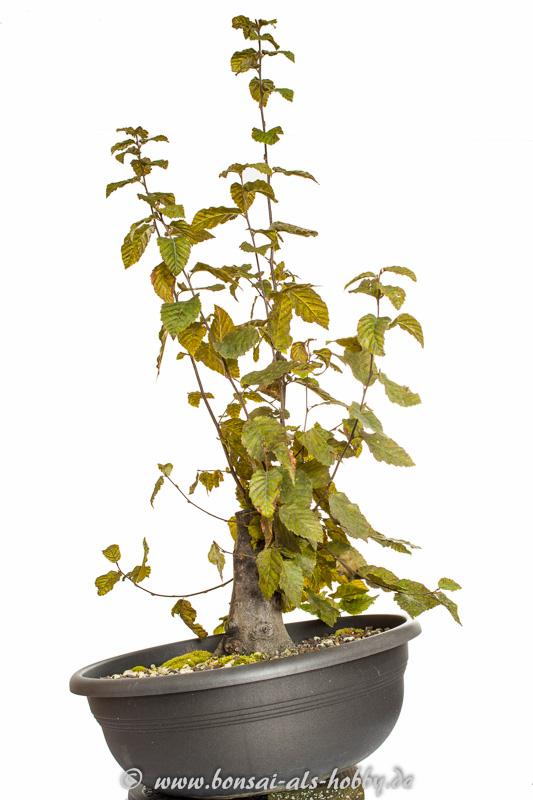 Hainbuche (Carpinus betulus) im Oktober 2014