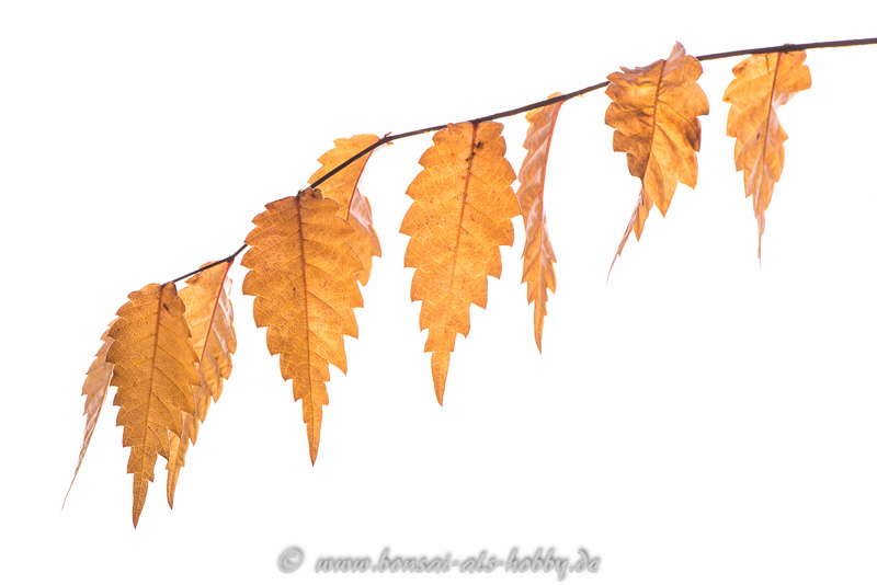 Herbstlaub Zelkova serrata