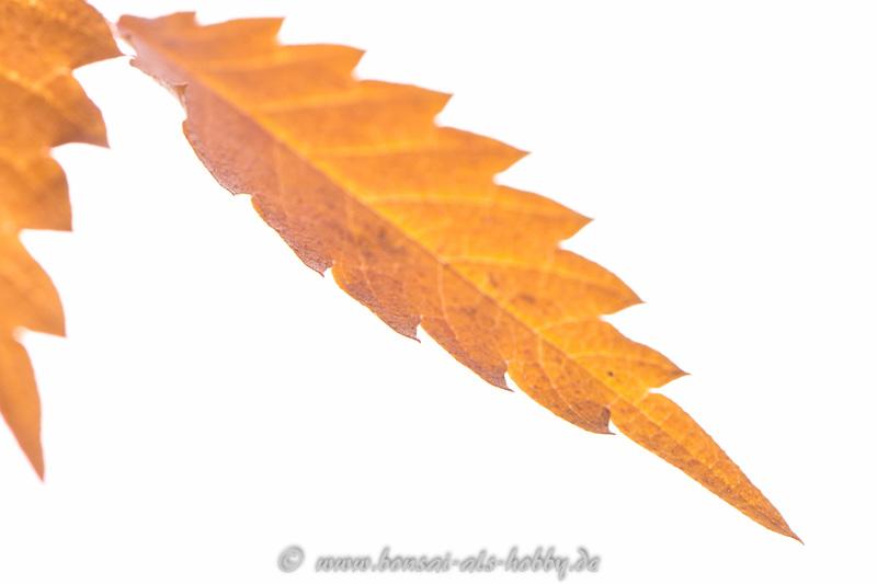 Blatt im Herbst Zelkova serrata