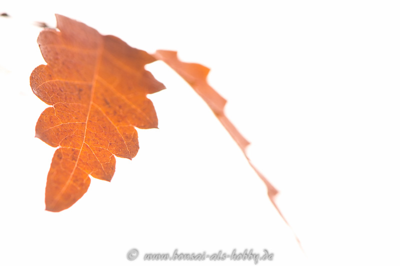 Zelkova serrata Blatt im Herbst