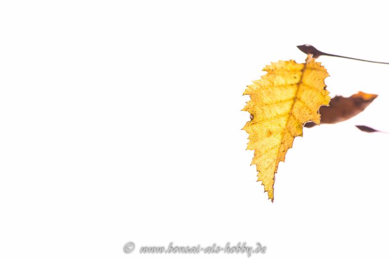 Carpinus orientalis Blatt in Herbstfärbung