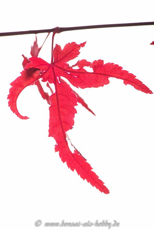 Laub vom Acer palmatum im November
