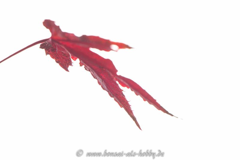 Blatt vom Acer palmatum im Herbst