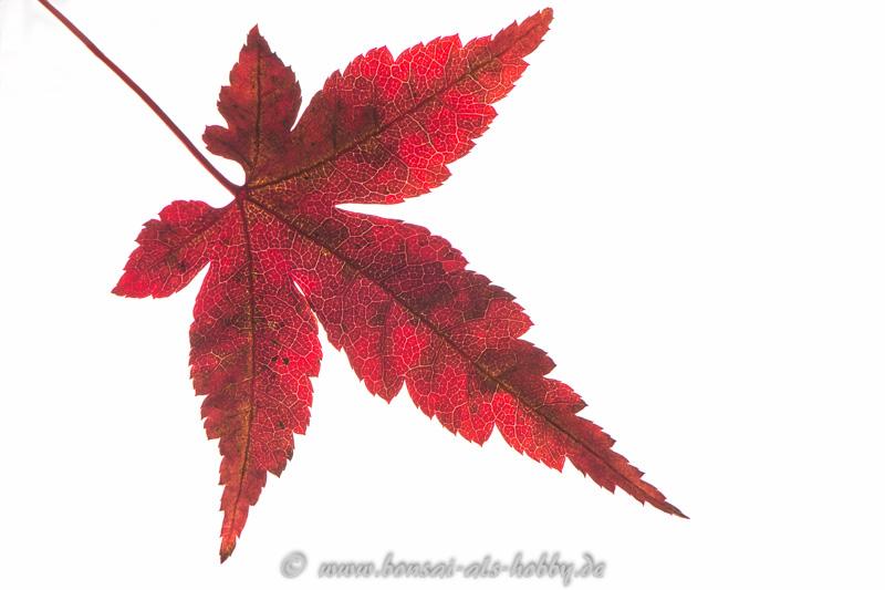Rote Herbstfärbung Acer palmatum Blatt