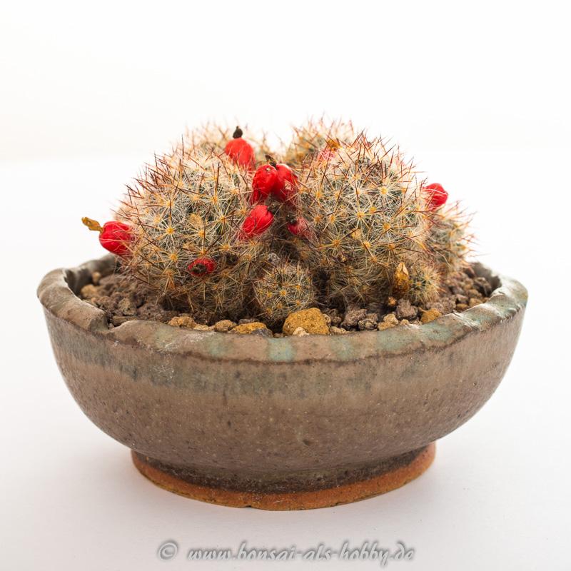 Kaktus Mammillaria prolifera als Akzentpflanze
