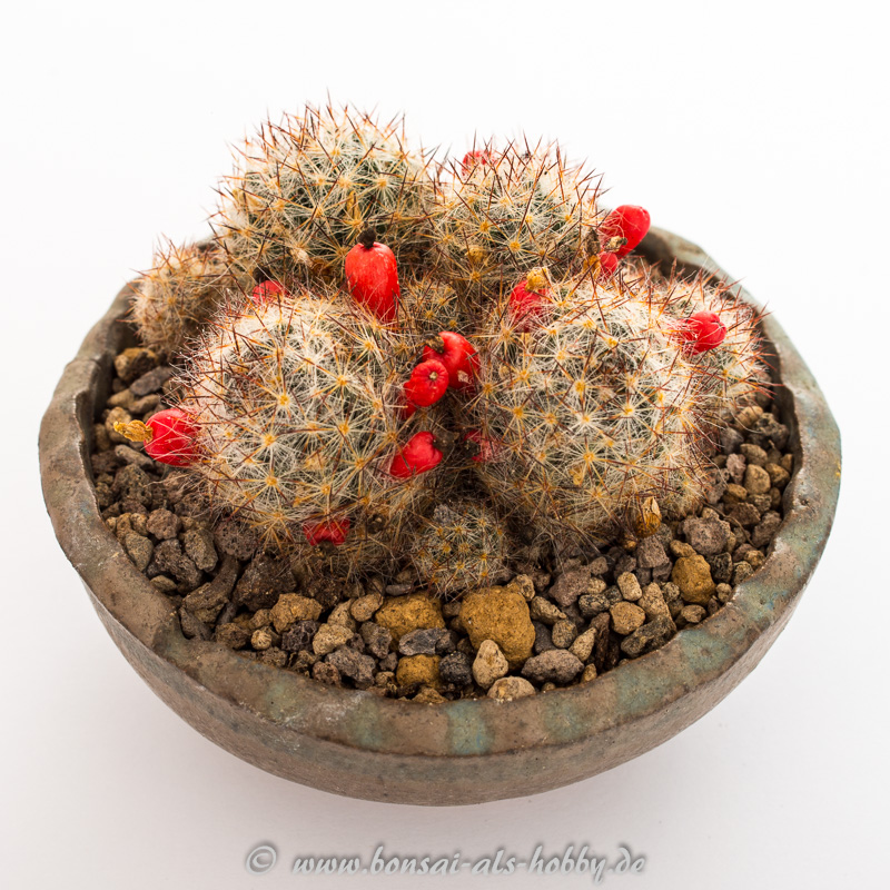 Beisteller Mammillaria prolifera