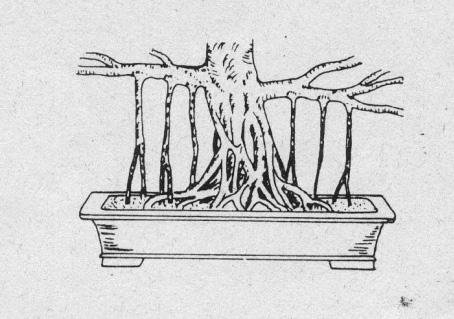 Luftwurzeln Schefflera