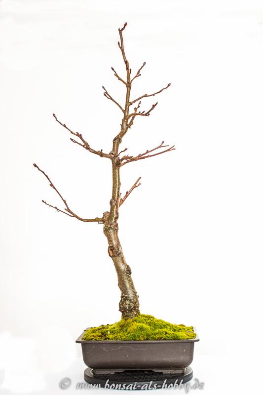 Schwarzerle (Alnus glutinosa) als Bonsai im Herbst 2014