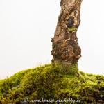 Pilz am Stamm eines Schwarzerlen-Bonsai
