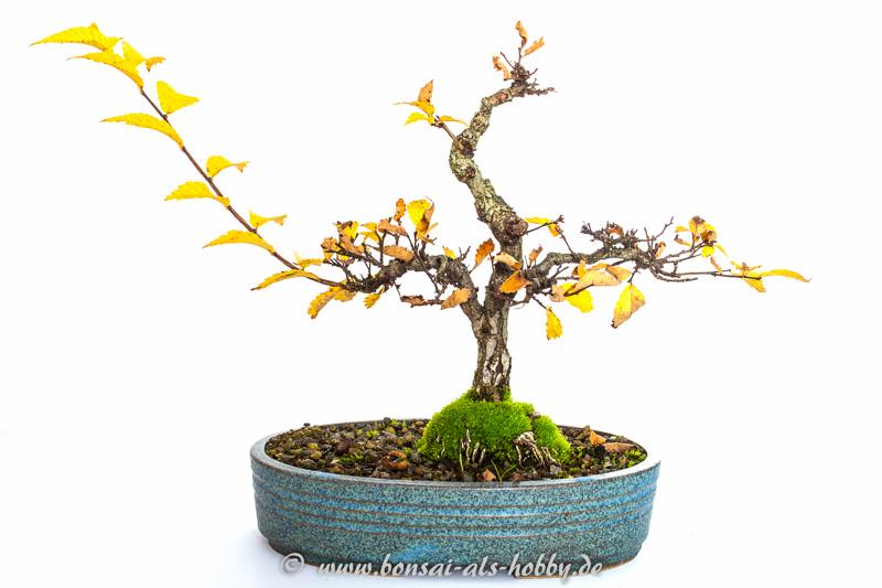 meine korkrinden ulme zelkova nire bonsai 2014. Black Bedroom Furniture Sets. Home Design Ideas