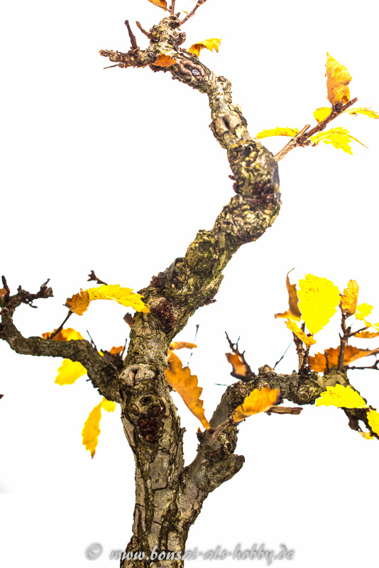 Nahaufnahme Korkrindenulme im Herbst