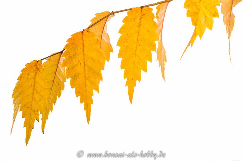 Herbstlaub Zelkove serrata 2014
