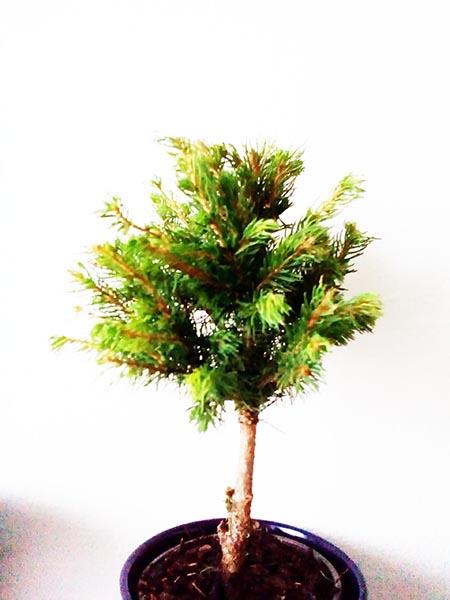 Pinus glauca