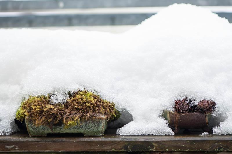 Kusamono unter Schnee