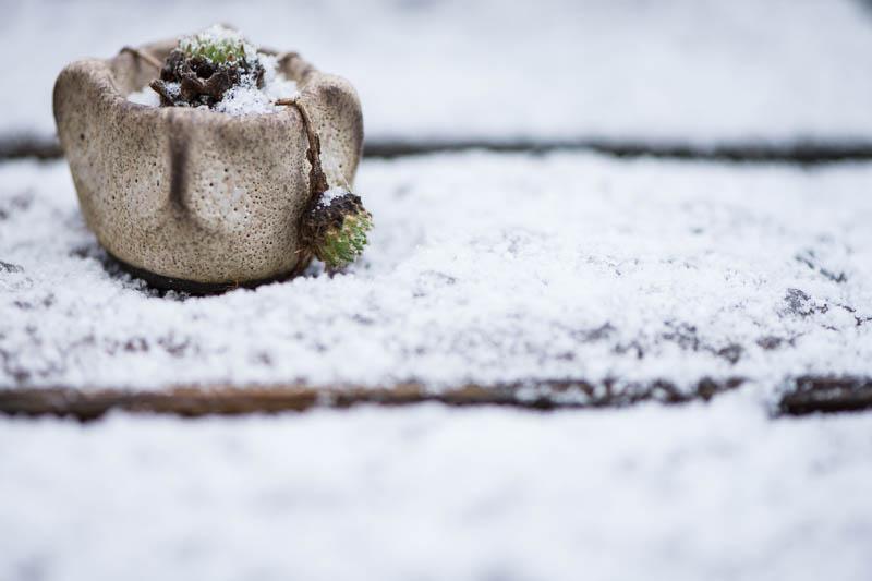 Hauswurz Mini Kusamono im Schnee