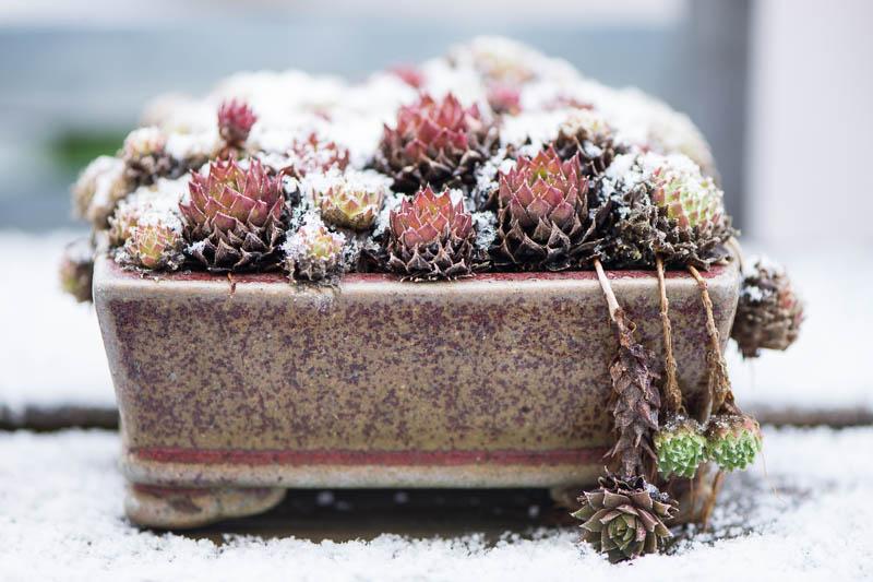 Hauswurz Kusamono im Winter