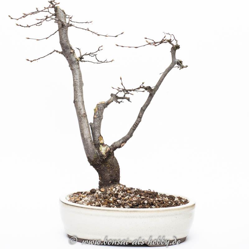 Carpinus orientalis nach Rückschnitt im März 2015