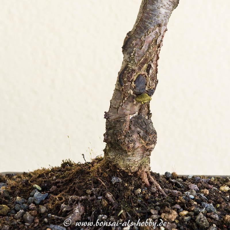 Schnittwunde mit Baumpilz