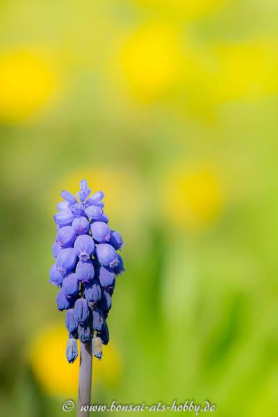 Blüte einer Traubenhyazinthe