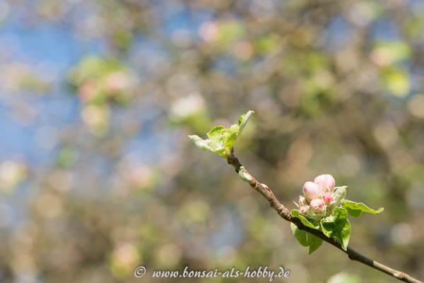 Blüten Apfelbaum