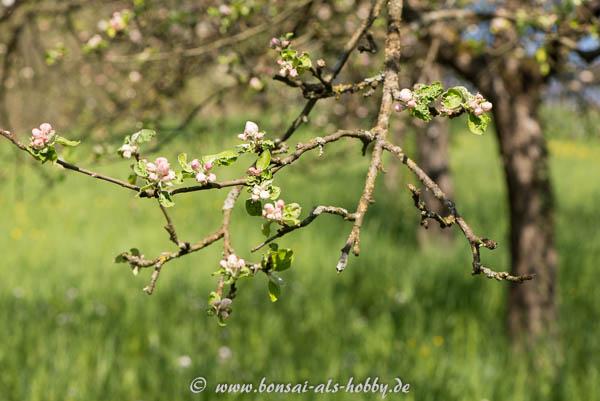 Äste und Blüten Apfelbaum