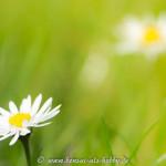 Blüte Gänseblümchen
