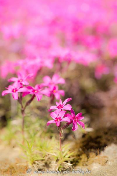Rosa Blüten im Frühling