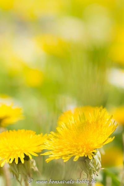 Blühender Läwenzahn im Frühling