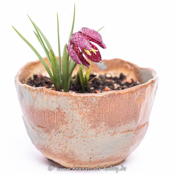 Schachblume (Fritillaria meleagris) als Kusamono