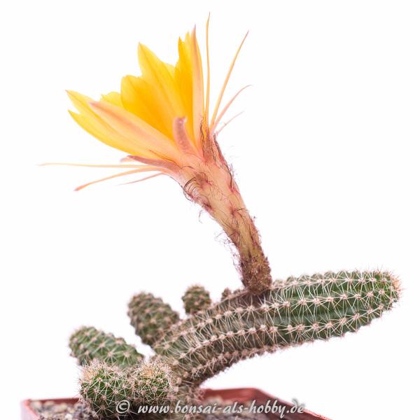 Chamaecereus Hybride Renate