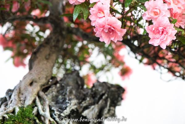 Azaleen-Blüte in rosa