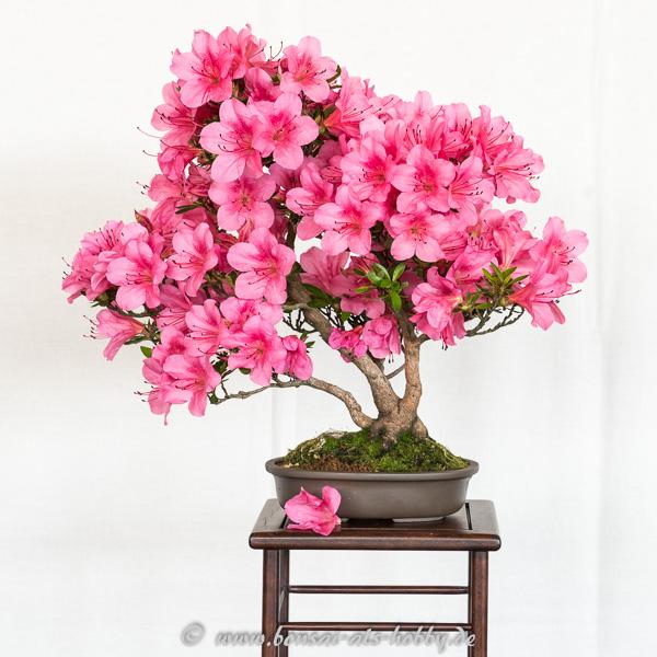Rhododendron indicum Osakazuki