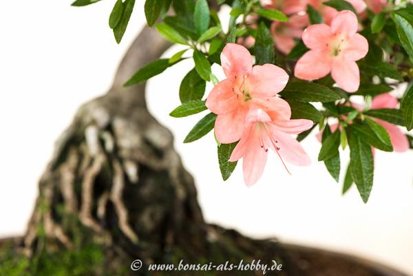 Blüte Satsuki-Azaleen-Bonsai