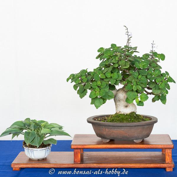 Weihrauch als kleiner Bonsai