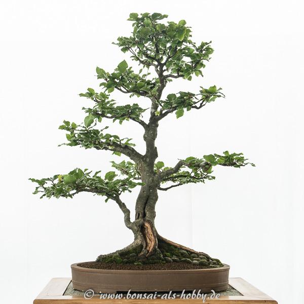 Rotbuche als Bonsai-Baum