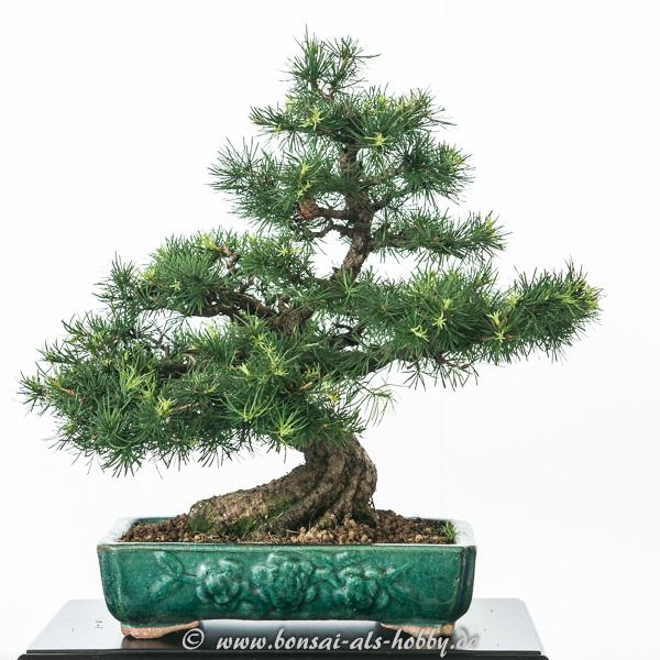 Kleine Larix decidua als Shohin Bonsai