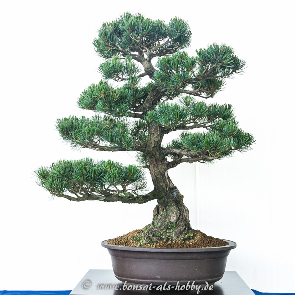 Pinus parviflora als Bonsai-Baum