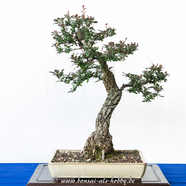 Berberis thunbergii als Bonsai