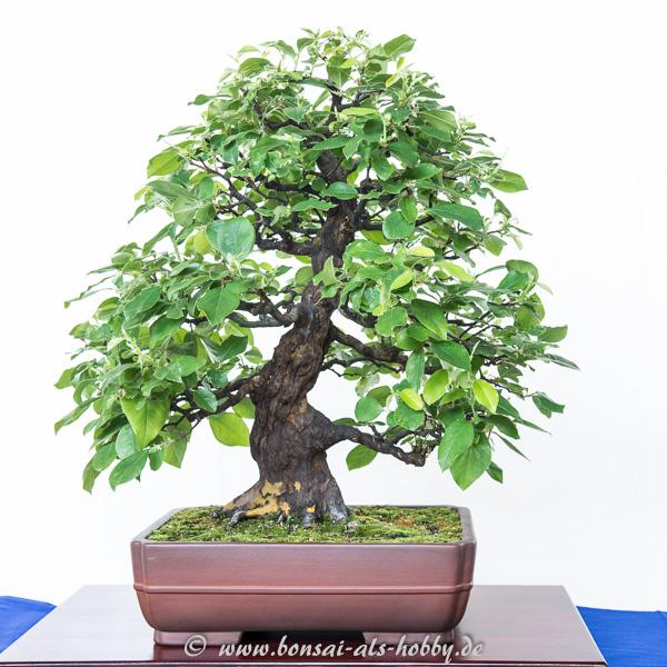 Pseudocydonia sinensis als Bonsai