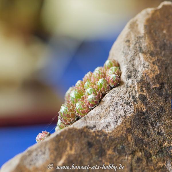 Sempervivum als Akzentpflanze auf einem Stein