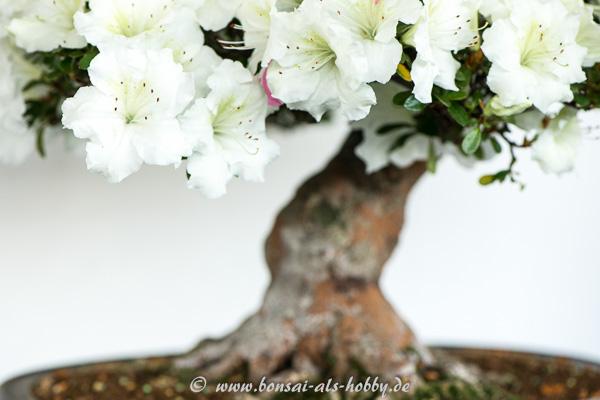 Weiße Blüten Satsuki-Azalee