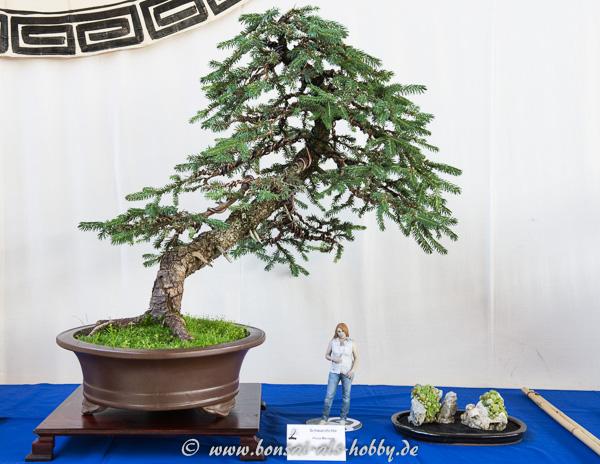 Schwarzkiefer (Picea mariana) als Bonsai