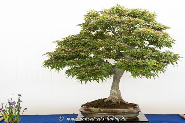 Acer palmatum Seigen als Bonsai