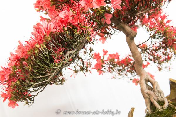 Rote Blüten Rhododendron indicum Kinsai
