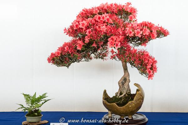 Rhododendron indicum Kinsai mit Blüten