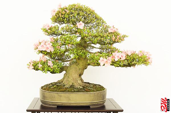 Azaleen-Bonsai in der Blüte