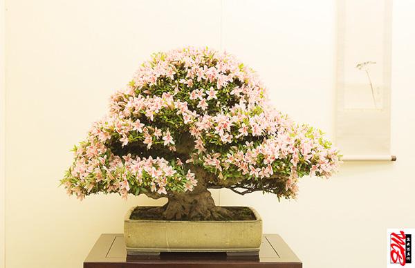 Azaleen-Bonsai mit Blüten