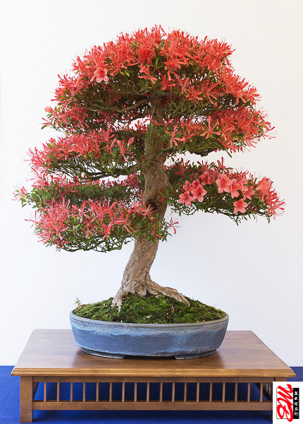 Rot blühende Satsuki-Azalee als Bonsai